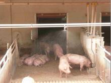 Schweinedusche